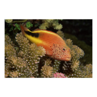 Freckled hawkfish perches on stony corals poster