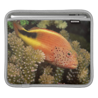 Freckled hawkfish perches on stony corals sleeve for iPads