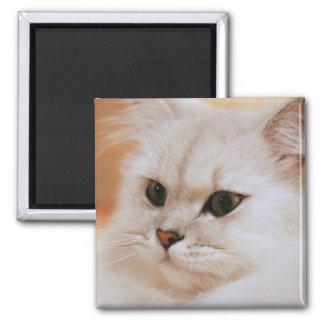 Freddie ~ Chinchilla Persians 2 Inch Square Magnet