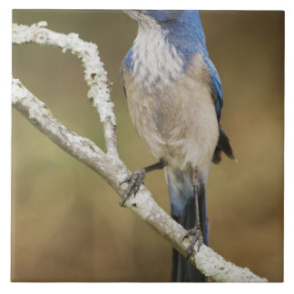 Fregar-Jay occidental, californica de Aphelocoma,  Azulejo Cuadrado Grande