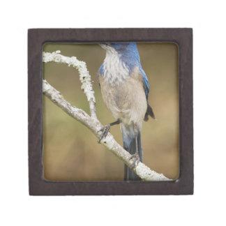 Fregar-Jay occidental, californica de Aphelocoma,  Cajas De Joyas De Calidad