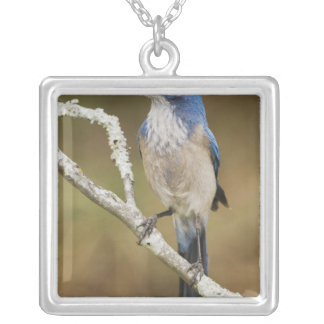 Fregar-Jay occidental, californica de Aphelocoma, Collar Plateado