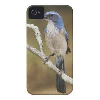 Fregar-Jay occidental, californica de Aphelocoma, Funda Para iPhone 4