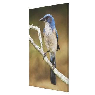 Fregar-Jay occidental, californica de Aphelocoma,  Impresion En Lona