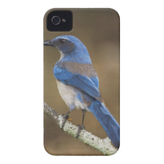 Fregar-Jay occidental, californica de Aphelocoma, iPhone 4 Coberturas