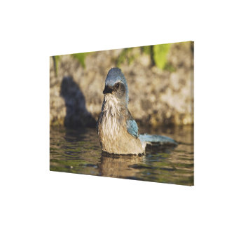 Fregar-Jay occidental, californica de Aphelocoma, Impresión En Lienzo Estirada