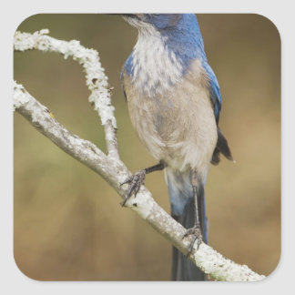 Fregar-Jay occidental, californica de Aphelocoma, Pegatina Cuadrada