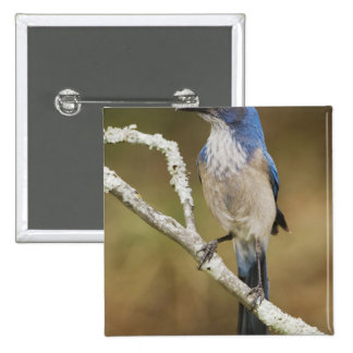 Fregar-Jay occidental, californica de Aphelocoma,  Pin Cuadrada 5 Cm