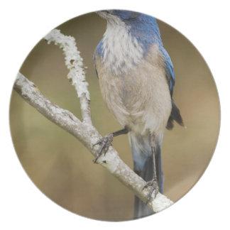 Fregar-Jay occidental, californica de Aphelocoma,  Plato De Cena