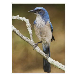 Fregar-Jay occidental, californica de Aphelocoma, Postal