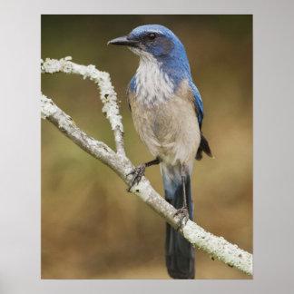 Fregar-Jay occidental, californica de Aphelocoma,  Póster