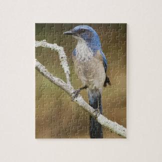 Fregar-Jay occidental, californica de Aphelocoma,  Rompecabeza