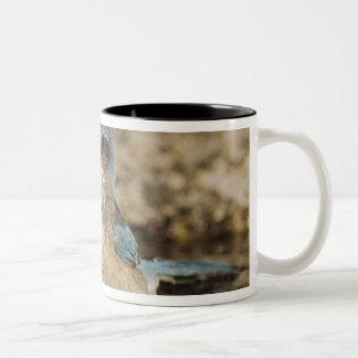 Fregar-Jay occidental, californica de Aphelocoma, Taza De Dos Tonos