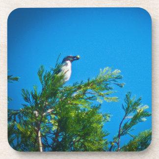 Fregar-Jay occidental en un árbol Posavasos