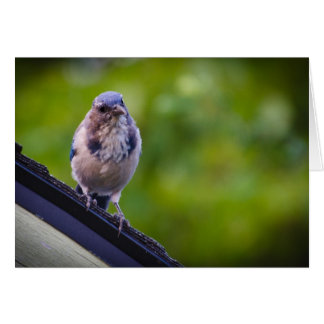 Fregar-Jay occidental en un tejado Tarjeta De Felicitación