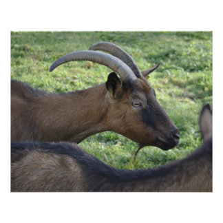 French alpine goat poster