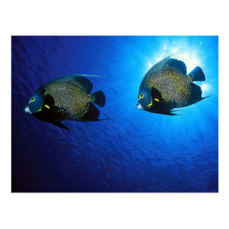 French Angelfishes Postcard