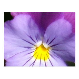 French Blue Purple Pansy Postcard