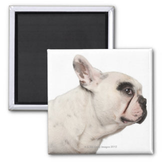 French Bulldog (4 years old) close-up 2 Inch Square Magnet