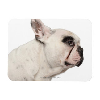 French Bulldog (4 years old) close-up Rectangular Magnets