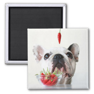 French Bulldog Looking At A Red Pepper 2 Inch Square Magnet