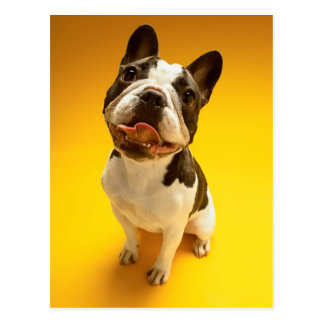 French Bulldog Looking Up Postcard