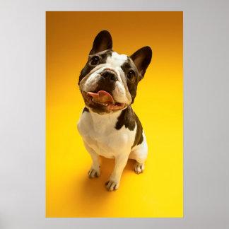 French Bulldog Looking Up Poster