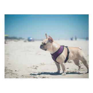 French Bulldog On Beach Postcard