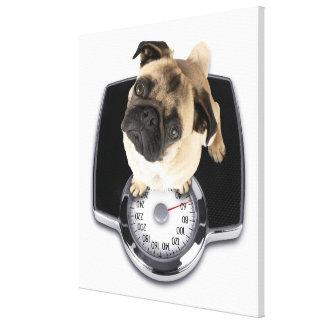French bulldog on scales looking up at camera canvas print