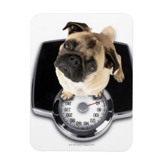 French bulldog on scales looking up at camera magnet