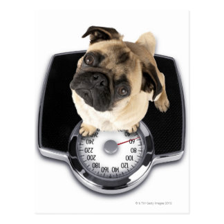 French bulldog on scales looking up at camera postcard