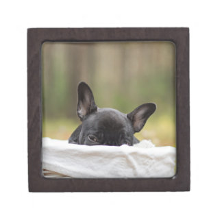 french bulldog peeking puppy gift box
