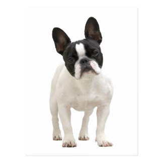 French Bulldog photo postcard
