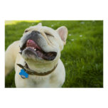 French Bulldog Posters