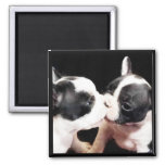 French bulldog puppies 2 inch square magnet