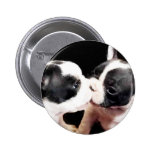 French bulldog puppies button