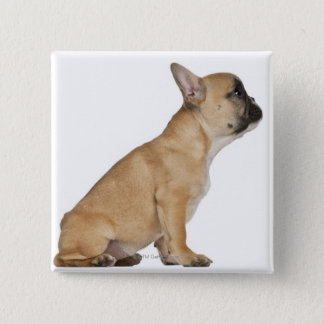 French Bulldog puppy (3,5 months old) Button