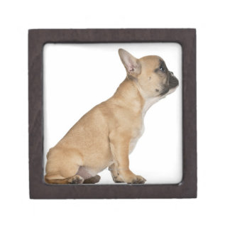 French Bulldog puppy 3 5 months old Premium Jewelry Boxes