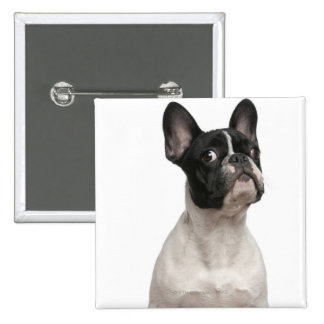 French Bulldog puppy (5 months old) Button