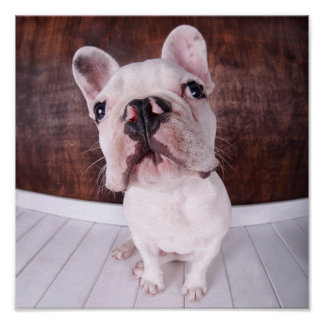 French Bulldog Puppy (7 Months Old) Poster