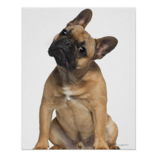 French Bulldog puppy (7 months old) Print