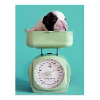 French bulldog puppy checking weight. postcard