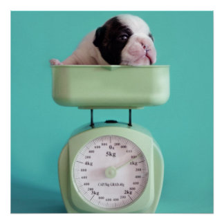 French bulldog puppy checking weight. poster