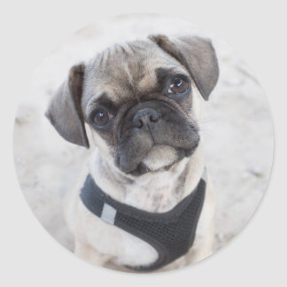 French Bulldog puppy looking cute Classic Round Sticker