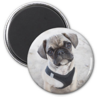 French Bulldog puppy looking cute Magnet