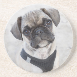 French Bulldog puppy looking cute Sandstone Coaster