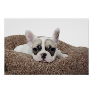French Bulldog Puppy Lying In A Dog Bed Poster