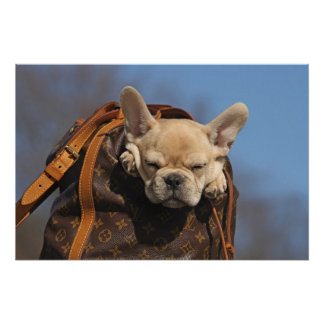 French Bulldogge looks from BACKPACK Poster
