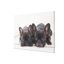 French Bulldogs Snuggling On A Blanket Canvas Print