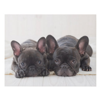 French Bulldogs Snuggling On A Blanket Panel Wall Art